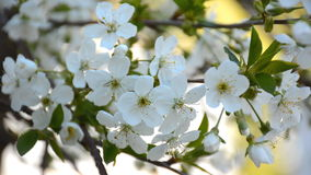 Blossoming cherry tree in the spring garden stock video