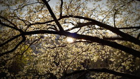 Blossoming cherry tree in spring Royalty Free Stock Images