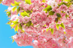 Blossoming of cherry tree. Spring sakura flowers on sunny day Stock Photography