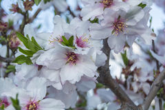 Blossoming cherry tree Stock Photos