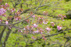 Blossoming cherry tree, springtime, Japan Stock Photo
