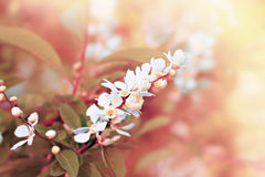 Blossoming cherry tree. White flowers on blossoming cherry tree. Pastel colors. Spring fresh beauty. Color toning applied Stock Photo