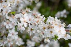 Blossoming cherry  tree Stock Photo