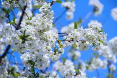 Blossoming cherry tree. White flowers Royalty Free Stock Photos