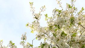 Blossoming cherry tree in the wind. White flowers of a blooming cherry against a blue sky stock video