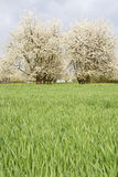 Blossoming cherry trees Royalty Free Stock Image