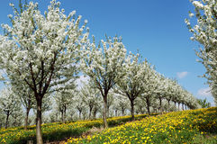 Blossoming cherry-trees Stock Image