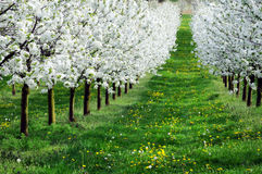 Blossoming cherry-trees Royalty Free Stock Photography