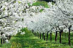 Blossoming cherry-trees. Spring landscape with blossoming cherry-trees. Germany Stock Photos