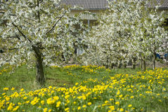 Blossoming Cherry trees. Scenic view of blossoming white Cherry trees in field of yellow flowers royalty free stock image