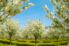 Blossoming cherry trees and blue sky Royalty Free Stock Photo