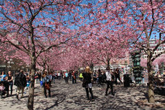 Blossoming cherry trees in central Stockholm Royalty Free Stock Images