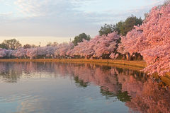 Blossoming cherry trees at dawn around Tidal Basin, Washington DC. Cherry trees in full blossom around Tidal Basin lightened by the rising sun Stock Images