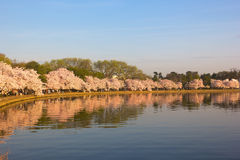 Blossoming cherry trees at dawn around Tidal Basin, Washington DC. Cherry trees in full blossom around Tidal Basin lightened by the rising sun Royalty Free Stock Photography