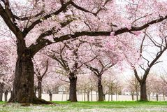 Blossoming cherry trees with dreamy feel. Blossoming cherry trees in an ornamental garden, pastel colors with dreamy feel Stock Image