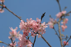 Blossoming cherry trees framing the nice blue sky Stock Photography