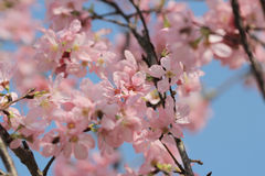 Blossoming cherry trees framing the nice blue sky Royalty Free Stock Photos