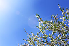 Blossoming cherry trees Royalty Free Stock Photos