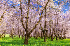 Blossoming cherry trees in garden Stock Photography