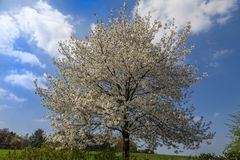 Blossoming cherry trees in Hagen, Osnabrueck country, Germany Stock Image