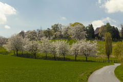 Blossoming cherry trees in Hagen, Osnabrueck country, Germany Royalty Free Stock Photo