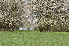 Blossoming cherry trees on a meadow Stock Photo