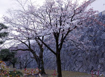 Blossoming cherry trees in an ornamental garden Stock Photo