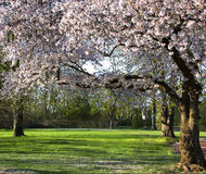 Blossoming cherry trees in an ornamental garden Royalty Free Stock Images