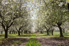 Blossoming cherry trees Stock Images