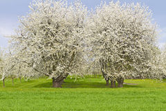 Blossoming cherry trees in spring Royalty Free Stock Photography
