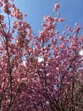 Blossoming cherry trees. In spring Royalty Free Stock Image
