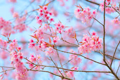 Blossoming cherry trees in spring Royalty Free Stock Images