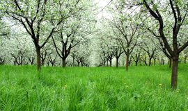 Blossoming cherry trees Royalty Free Stock Images