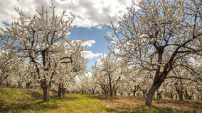 Blossoming Cherry Trees in the Spring Royalty Free Stock Image