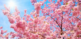 Blossoming cherry trees and the sun stock image