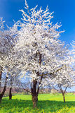 Blossoming cherry trees with white flowers Royalty Free Stock Images