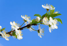 Blossoming cherry twig on sky background Royalty Free Stock Photo