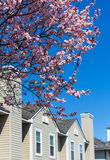 Blossoming cherrytree and typical american houses on the backgro Stock Photography