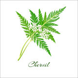 Blossoming chervil color vector illustration. Anthriscus cerefolium or French parsley. Isolated on a white background. French cuisine. For web, menu, logo Royalty Free Stock Photo