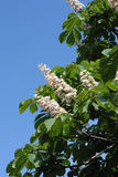 Blossoming chestnut Stock Images