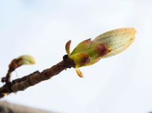 Blossoming chestnut Royalty Free Stock Images