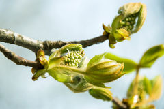 Blossoming chestnut Royalty Free Stock Photos
