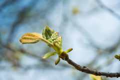 Blossoming chestnut Stock Photography