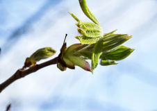 Blossoming chestnut Royalty Free Stock Image