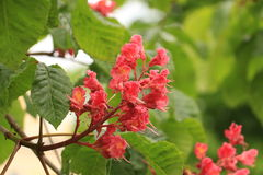 Blossoming chestnut. Blossoming Candles of Pink Chestnut royalty free stock photos
