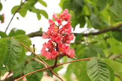 Blossoming chestnut. Blossoming Candles of Pink Chestnut stock photography