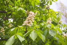 Blossoming chestnut Stock Photos