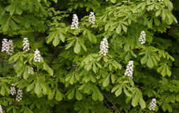 Blossoming of the chestnut tree Royalty Free Stock Image