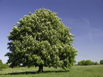 Blossoming Chestnut Tree. Blossoming white chestnut tree in the meadow Stock Photo