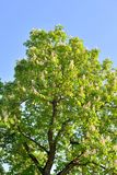 Blossoming chestnut tree. Stock Photo